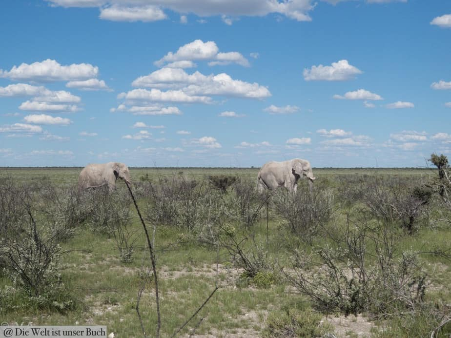 Elefantenbullen in freier Wildbahn